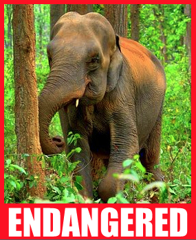 Endangered Young Elephant postcard